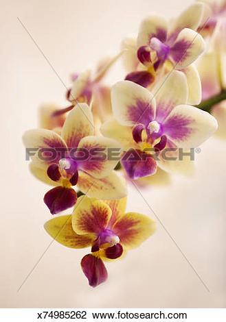 Stock Photo of Doritaenopsis Orchid Sogo Gotris 'Sweetheart.