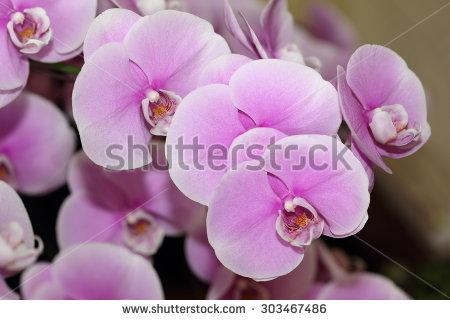 """orchid Doritaenopsis"" Stock Photos, Royalty."