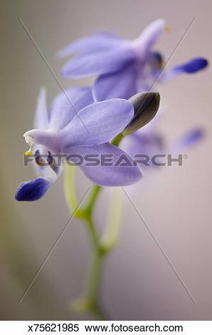 Stock Image of Blue Doritaenopsis Orchid Purple Martin 'Champion.