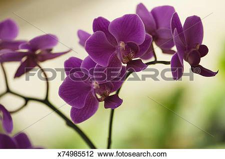 Stock Photo of Doritaenopsis Queen Beer 'Red Sky' Flower Chain.