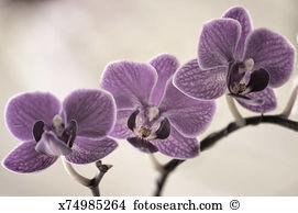 Doritaenopsis Stock Photos and Images. 99 doritaenopsis pictures.
