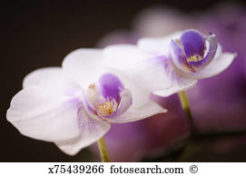 Doritaenopsis orchid Stock Photos and Images. 95 doritaenopsis.