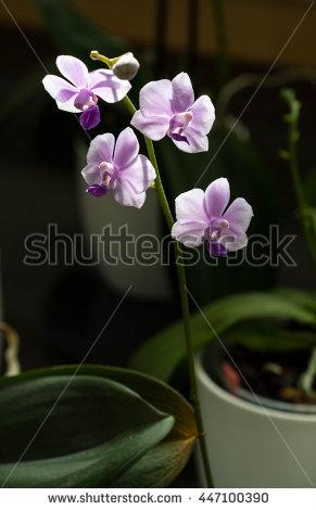 Doritaenopsis Stock Photos, Royalty.