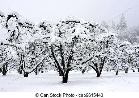Stock Photos of Dormant Orchard Covered In Snow.