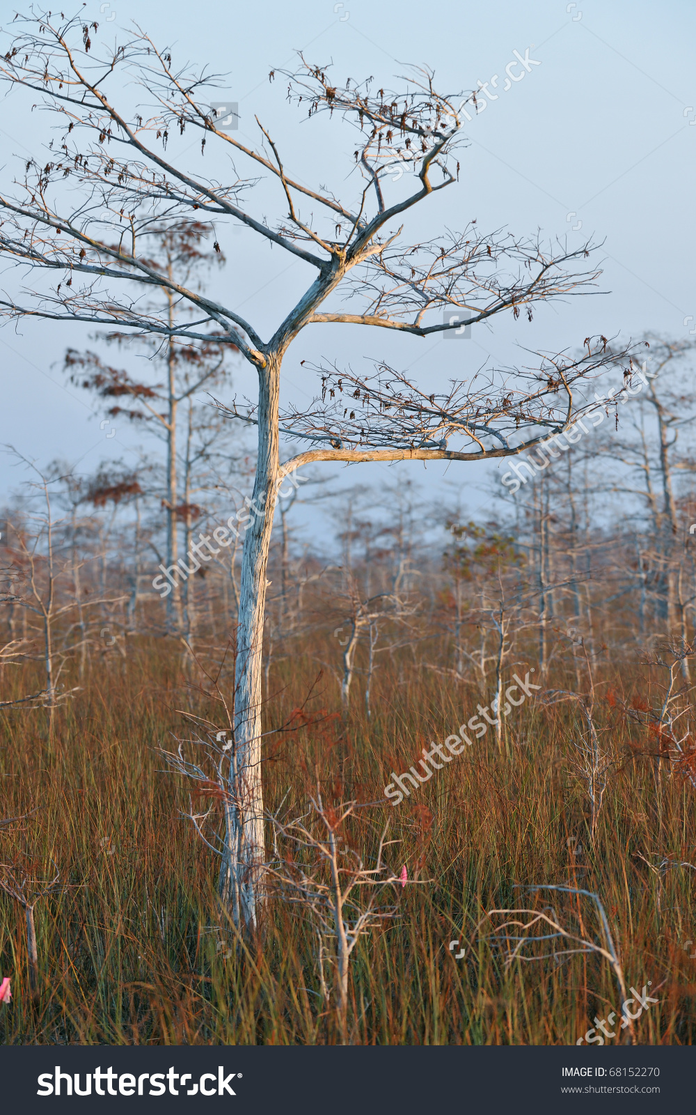 Dwarf Cypress Tree In Winter Dormancy At Florida'S Everglades.
