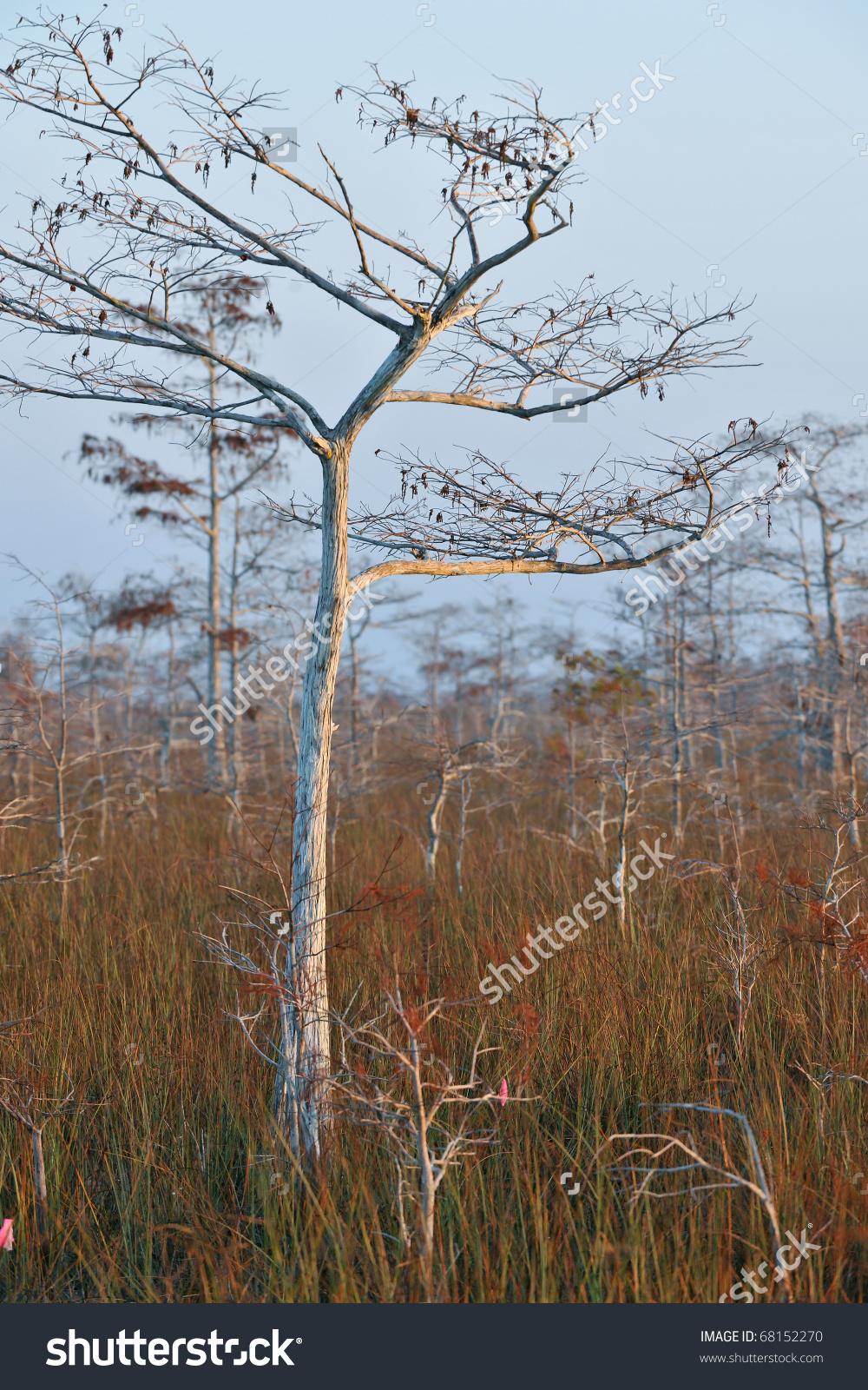 Dwarf Cypress Tree In Winter Dormancy At Florida'S Everglades.