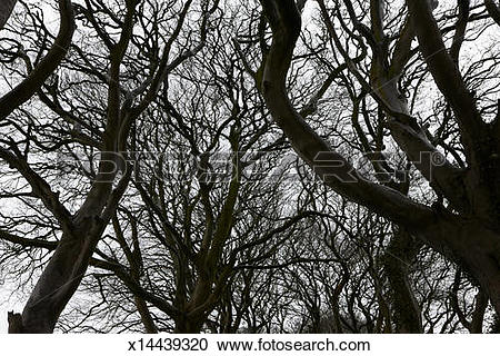 Stock Photography of Dormant beech trees on dull grey winter day.