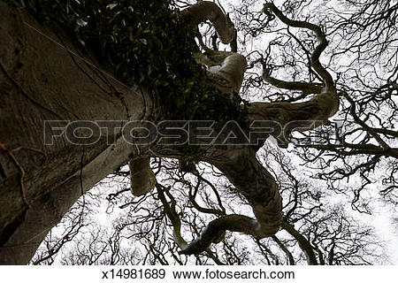 Stock Photograph of Looking up at dormant beech trees x14981689.