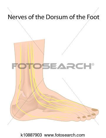 Clipart of Dorsal digital nerves of foot eps10 k10887903.