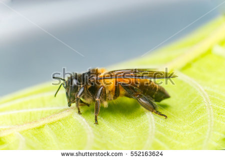 Stingless Stock Images, Royalty.