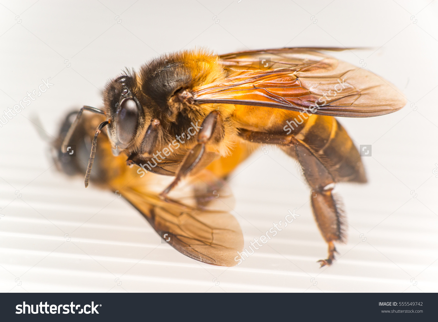 Strong Stingless Male Drone Giant Honey Stock Photo 555549742.