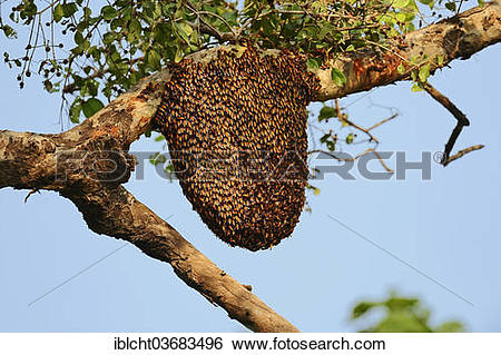 "Stock Images of ""Bees nest of the Giant Honey Bee (Apis dorsata."