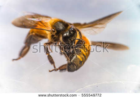 Stingless Male Drone Giant Honey Bee Stock Photo 556102357.