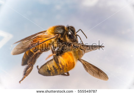 Dead Bee Stock Photos, Royalty.