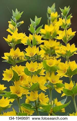 Stock Photography of Yellow Loosestrife / Dotted Loosestrife.
