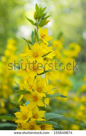 Dotted Loosestrife Stock Photos, Images, & Pictures.
