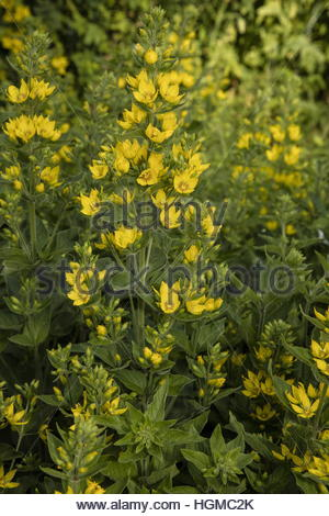 Spotted Loosestrife (lysimachia Punctata) Flowers And Leaves On.
