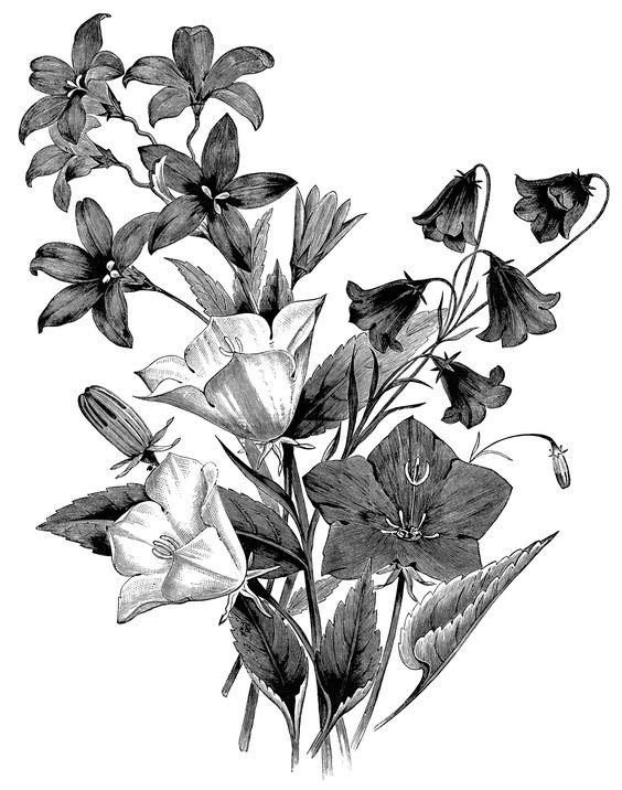 Campanula flower, vintage botanical engraving, black and white.