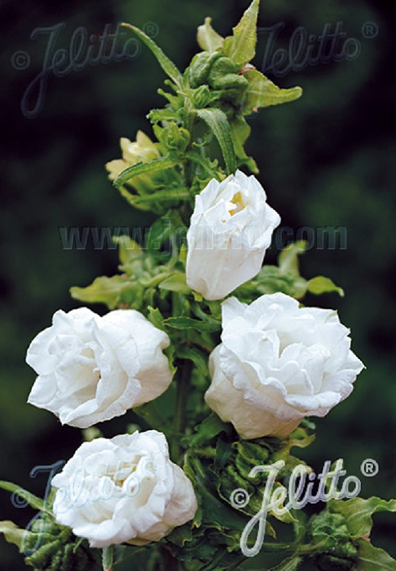 Double Mix CUP AND SAUCER Campanula Seeds by CaribbeanGarden.