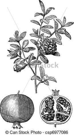 Clip Art Vector of Pomegranate double flowers and fruit vintage.