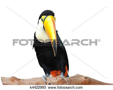 Stock Photo of toucan hornbill bird k4422993.