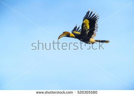 Hornbill Stock Photos, Royalty.