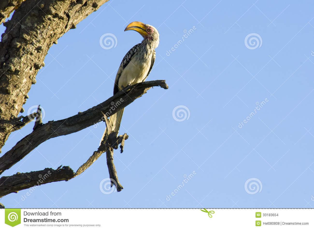 Yellow Billed Hornbill Stock Images.