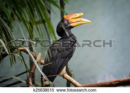 Stock Image of Rhinoceros Hornbill Bird k25638515.
