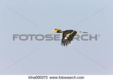 Stock Photo of Great Hornbill kfna000373.