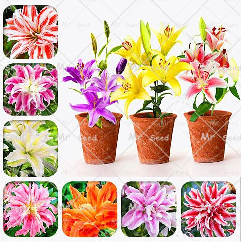 2pcs/bag True Lily Bulbs double lily flower bulbs (not seeds.