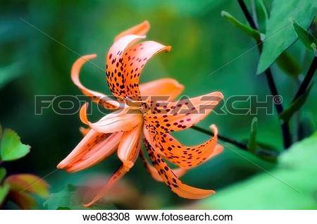 Pictures of Double Flowering Tiger Lily. Lilium lancifolium.