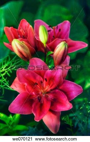 Stock Photography of Double Asiatic Lilies. Lilium hybrid. June.