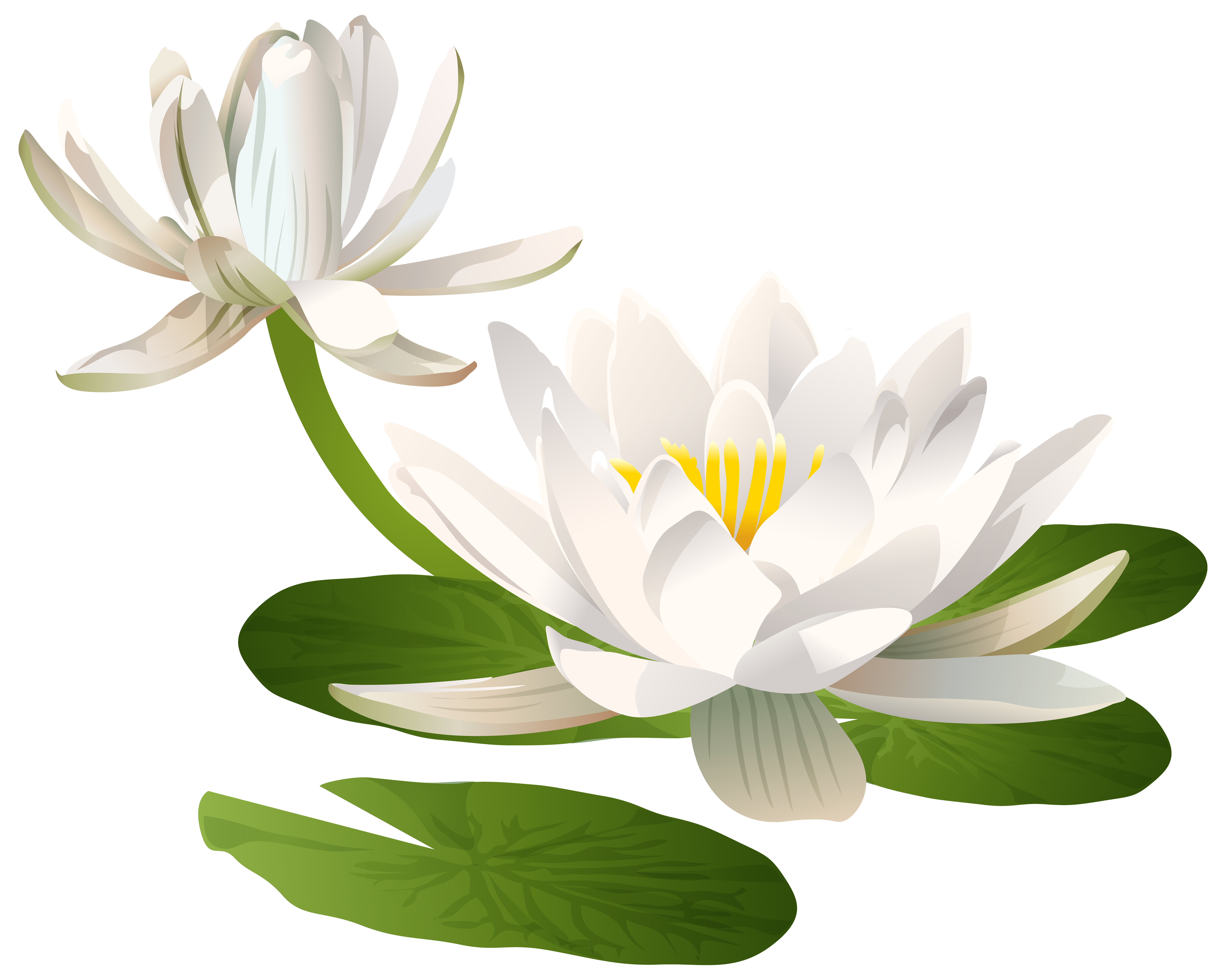Water Lily PNG Clip Art Image.