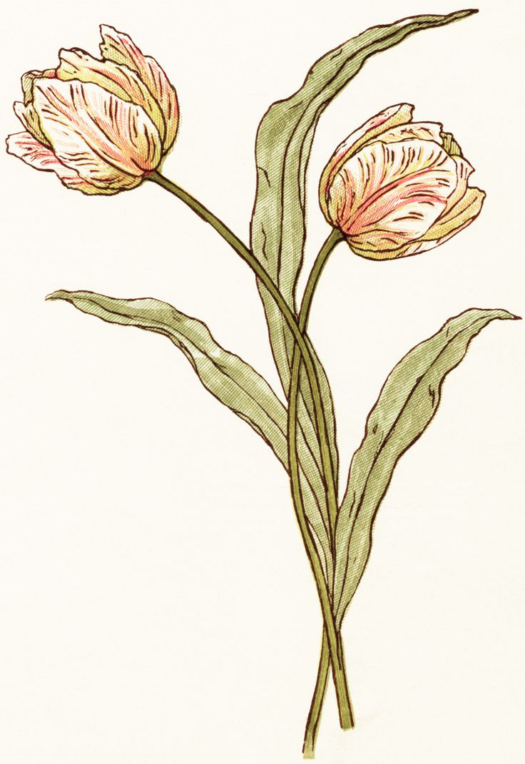 1000+ images about ❀⊱Tulip⊰ on Pinterest.