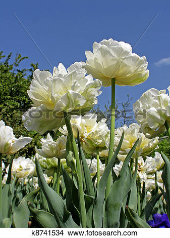 Double tulips clipart #10