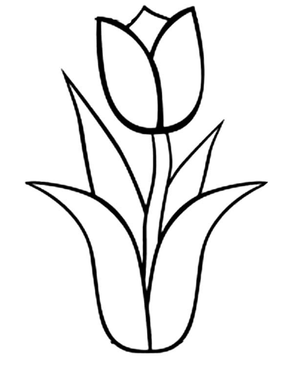 Tulips, : An Illustration of Single Double Bloom Tulip Coloring.