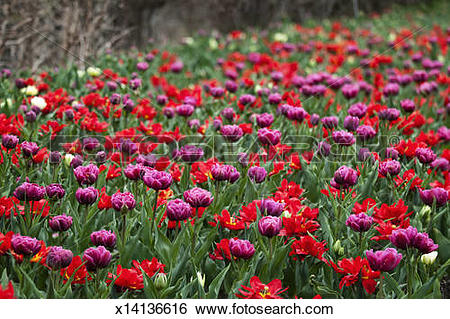 Stock Images of Mass Planting of Red and Purple Double Tulips.