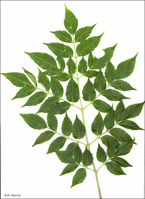 Plants: Pinnate Leaves.