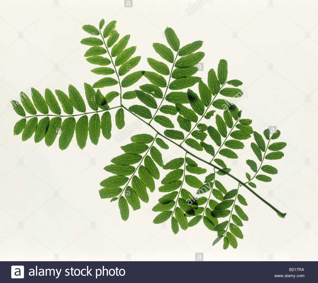 Compound Leaf Stock Photos & Compound Leaf Stock Images.