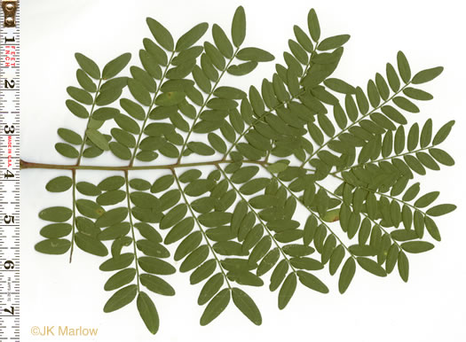 NameThatPlant.net: bipinnately or tripinnately compound leaves of.