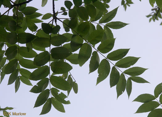 NameThatPlant.net: pinnately compound leaves of trees.