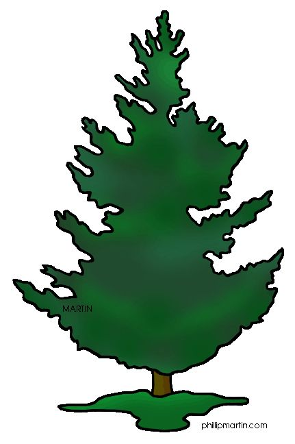 Douglas fir clipart.
