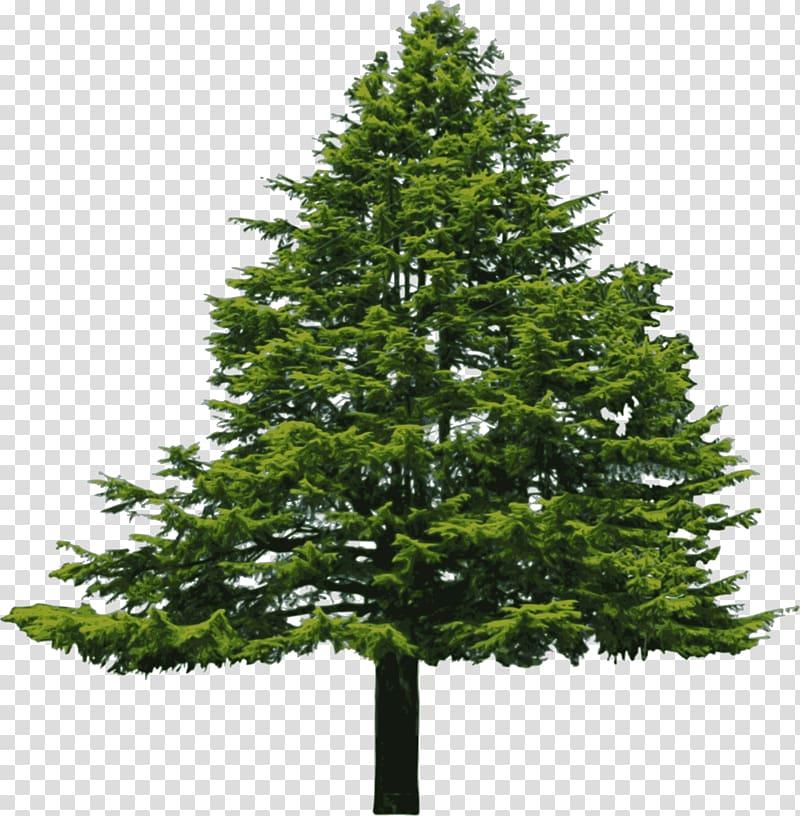 Abies cilicica Douglas fir Pine , Douglas Fir transparent.