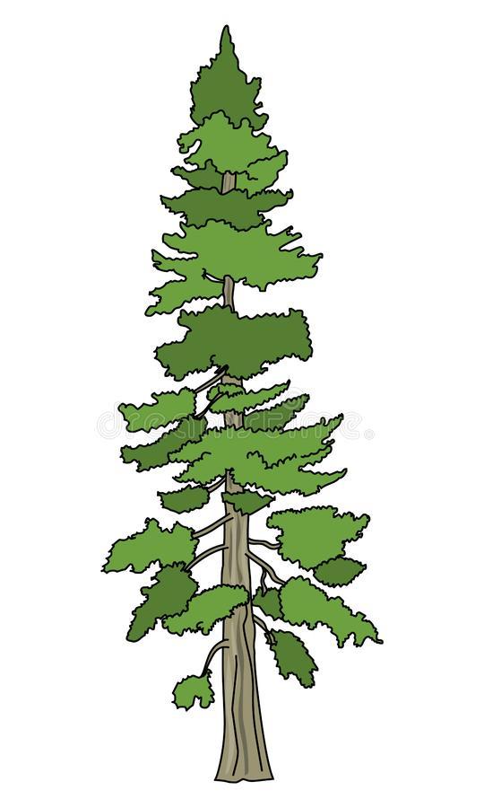 Douglas Fir Tree Stock Illustrations.