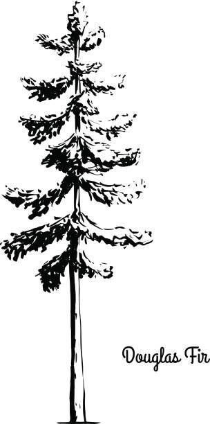Douglas Fir Tree Illustrations, Royalty.