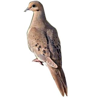 Dove hunting clip art.