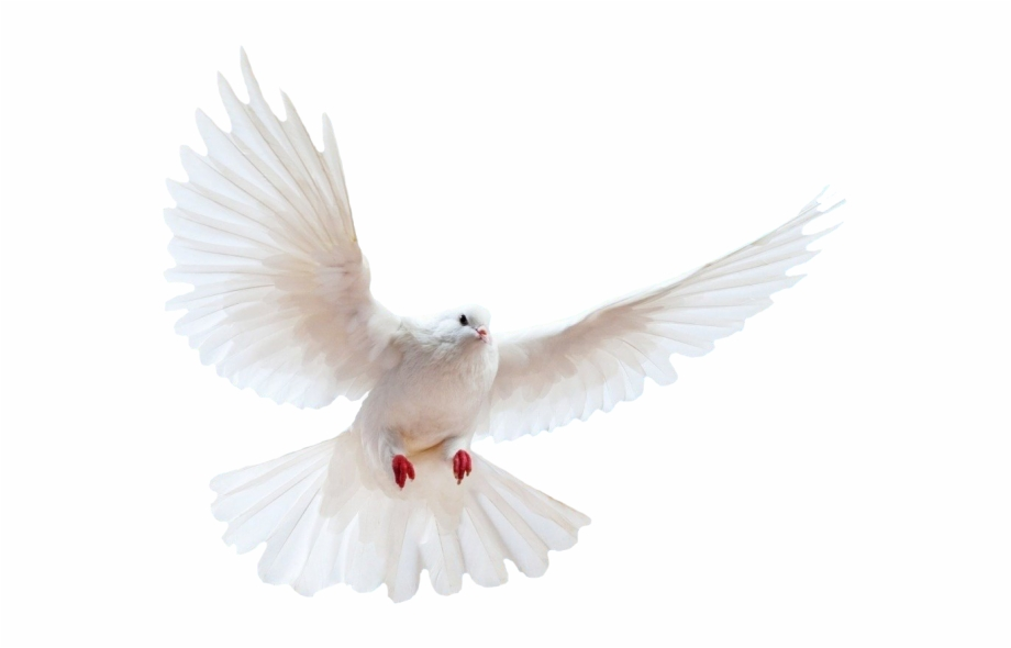 Dove Png Transparent Background Free PNG Images & Clipart Download.