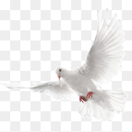 White Dove Png, Vectors, PSD, and Clipart for Free Download.