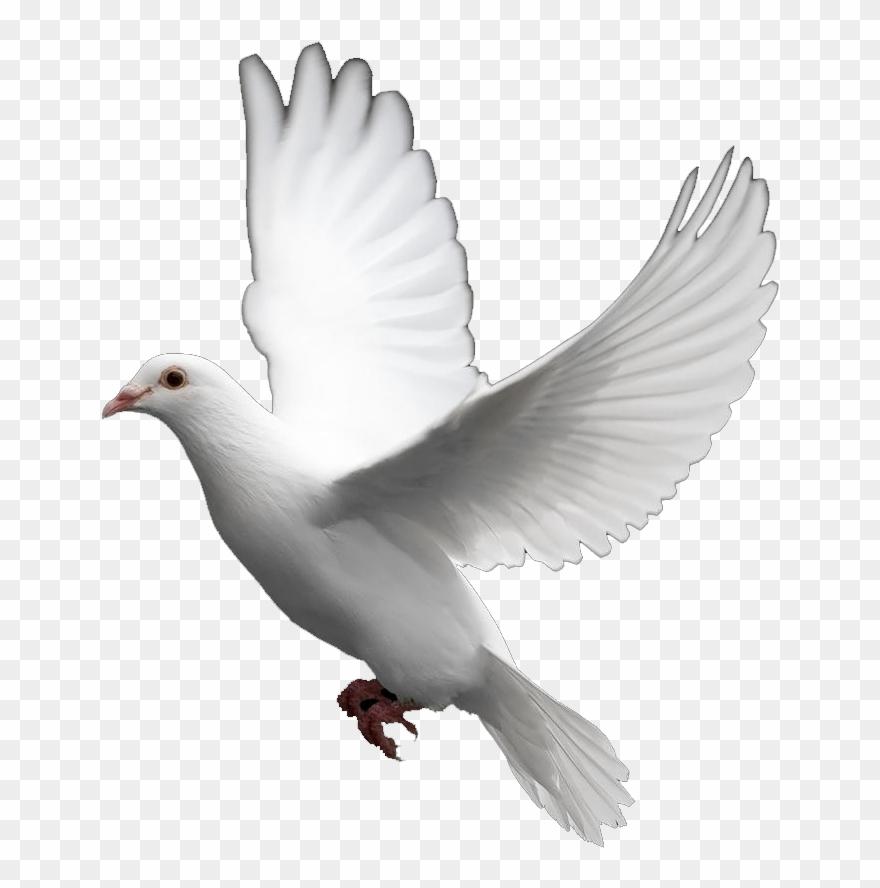 Pigeon Clipart In Flight.