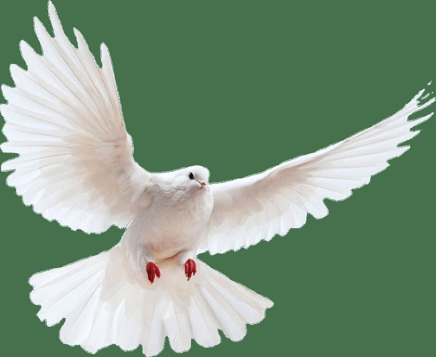 White dove transparent background bird.